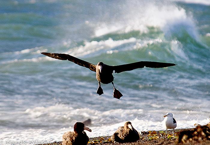 Petrel Gigante en Punta Norte - Peninsula Valdes