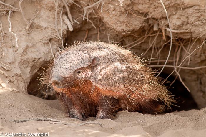 animais terrestres Península Valdés - Patagônia Argentina
