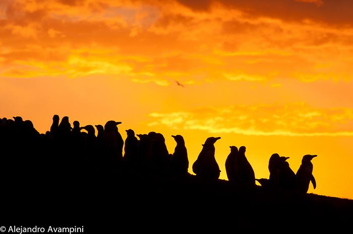 Pingüinos de magallanes a contraluz en Peninsula Valdes - Patagonia Argentina