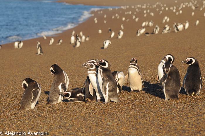 Pingüinos en Peninsula Valdes