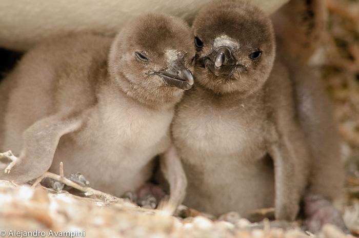 Pichones de pingüinos en Península Valdes