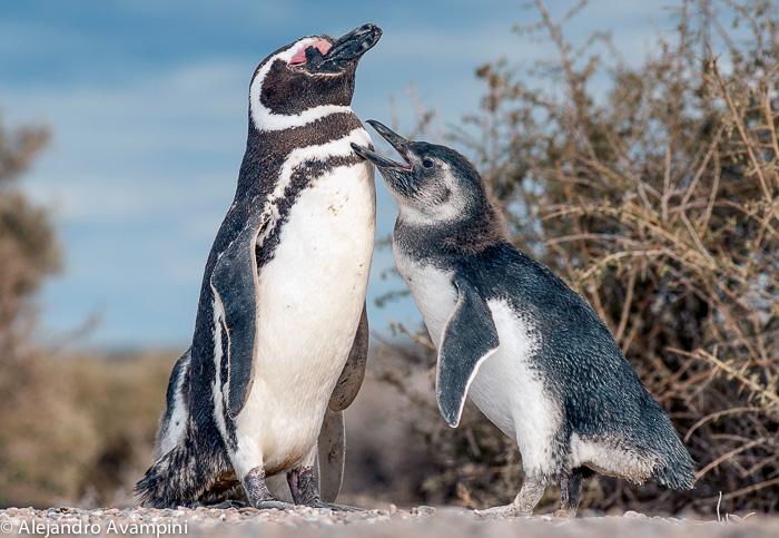 Penguin punta tombo- Valdes Peninsula
