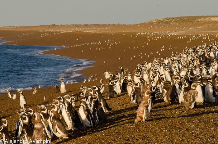 Pingüinera de San Lorenzo en Peninsula Valdes
