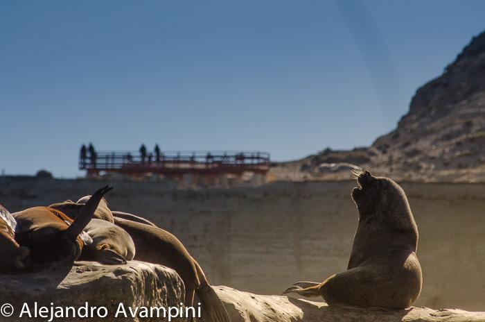 Leões marinhos de Punta Pirámides - Península Valdés