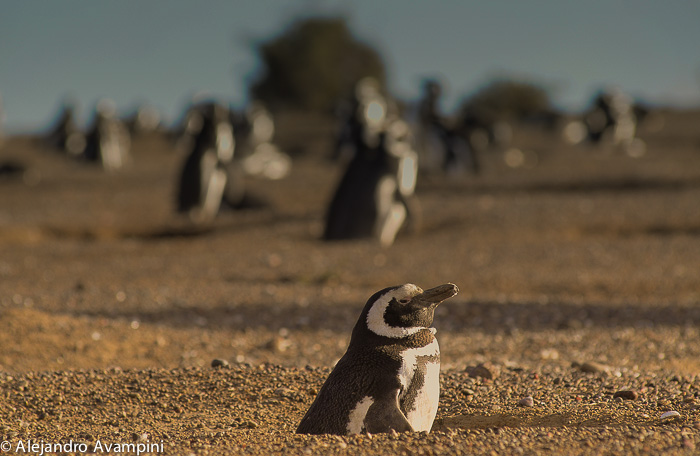 Punta Tombo Colony Penguin Argentine
