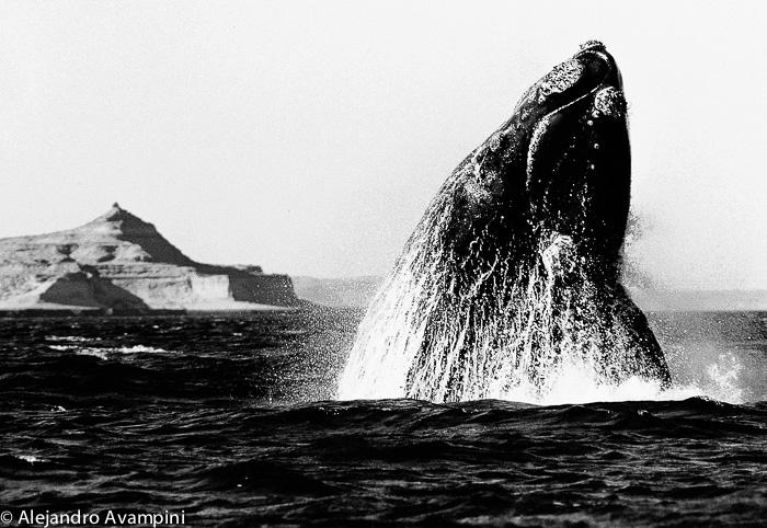 salto de ballena franca en Puerto Piramides