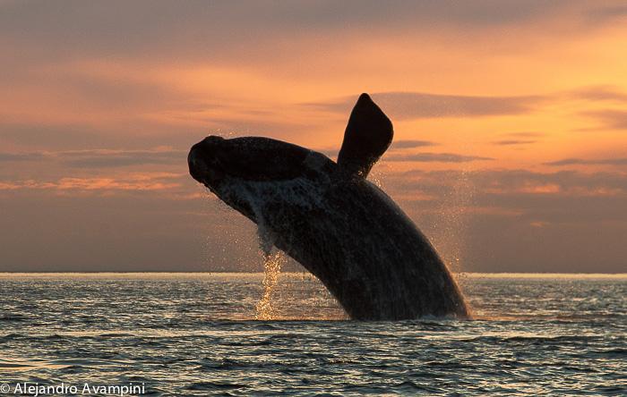 Sud saut de la baleine noire à Puerto Piramides - Péninsule de Valdès