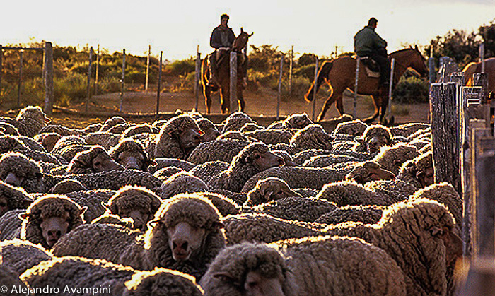 Sheep work in Valdes Peninsula -