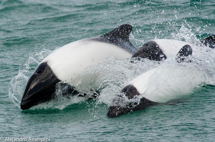 tonina overa en playa union patagonia argentina Chubut