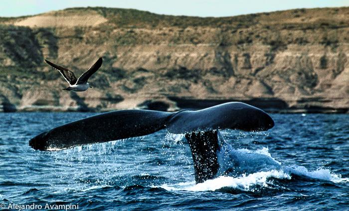 Gaviota volando junto a la cola de una ballena en Península Valdés