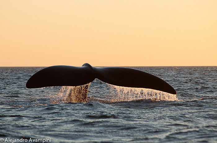 Whale tail sunset in Puerto Piramides